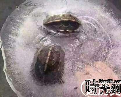 烏龜凍在冰裡